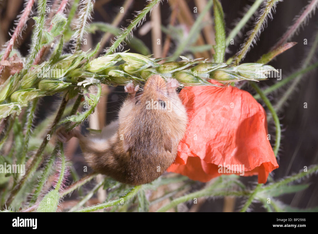 Harvest Mouse (Micromys minutus). Male feeding on wheat seed head or panicle amongst Field Poppies (Papaver rhoeas). - Stock Image