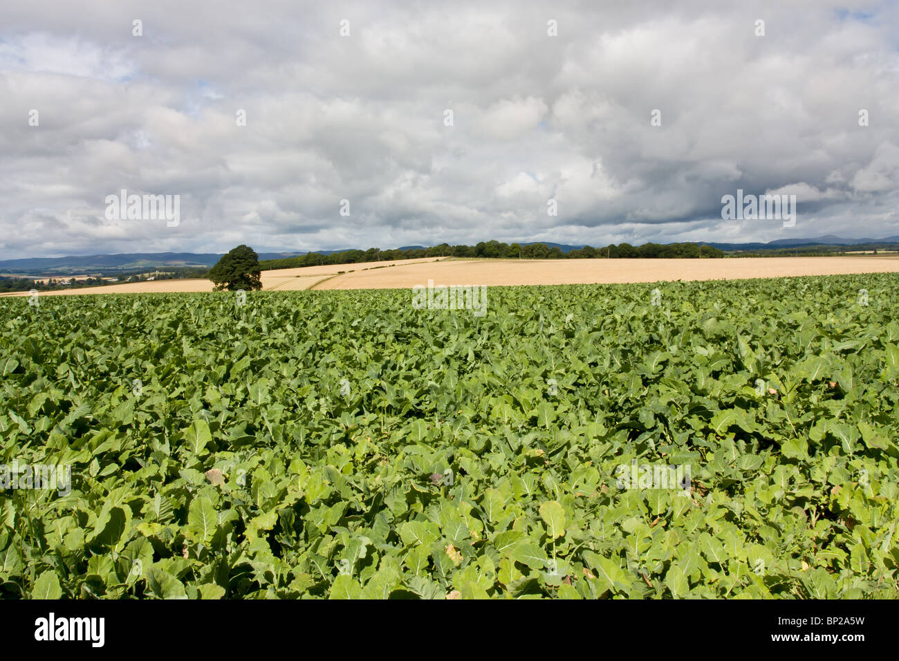 Scottish farming scene with cabbage crop in foreground and cereal crop in distance. - Stock Image