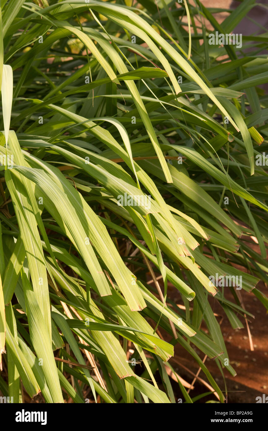 Cymbopogon Winterianus Stock Photos Cymbopogon Winterianus Stock