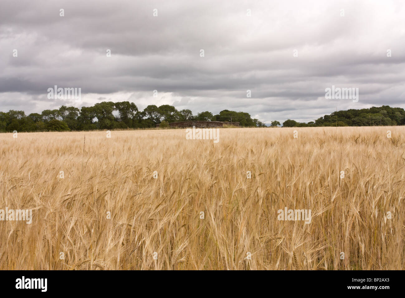 Scottish farming scene of ripe cereal crop in foreground. - Stock Image