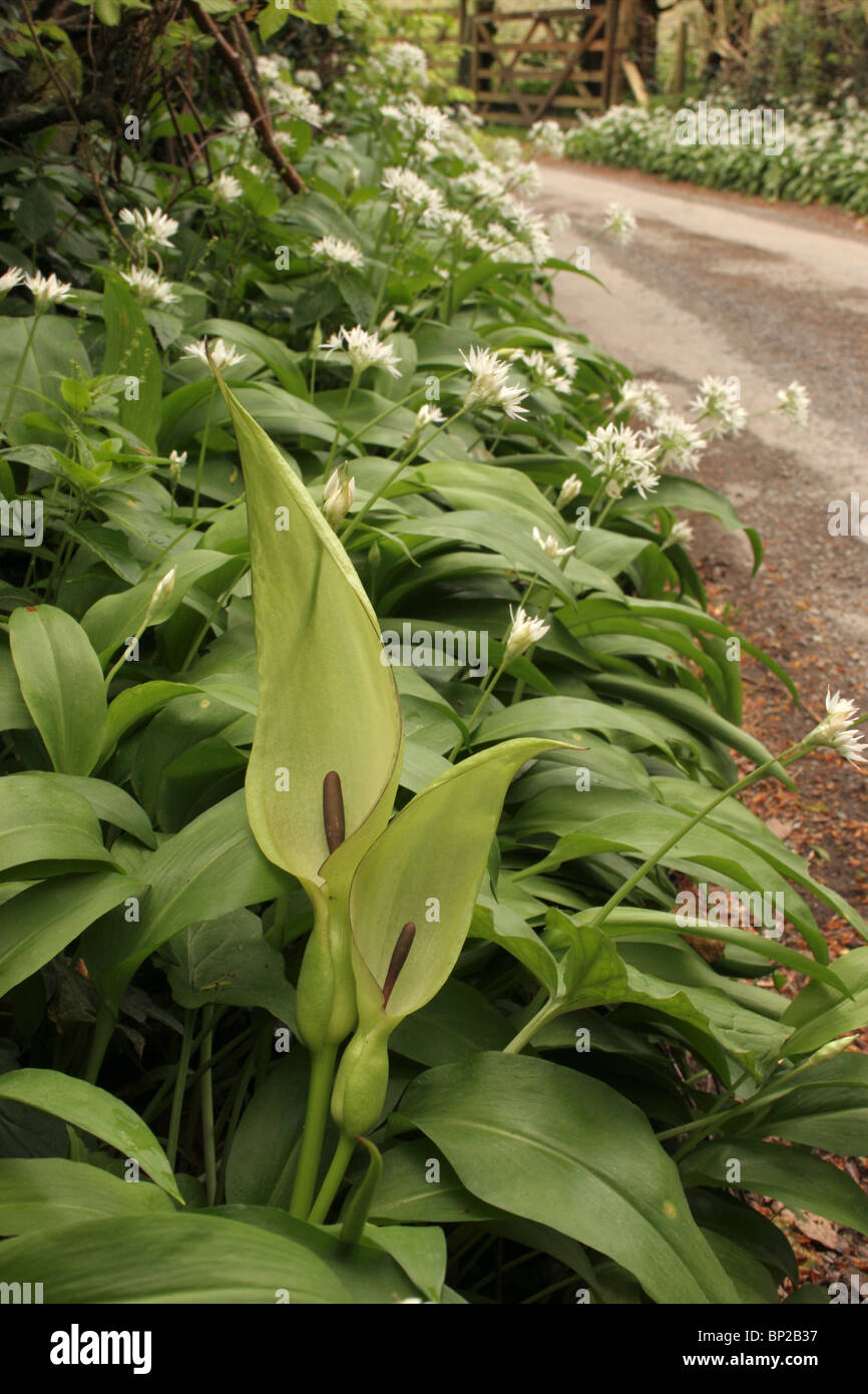 Lords-and-ladies (Arum maculatum : Araceae) beside a country lane, with ramsons, UK. Stock Photo