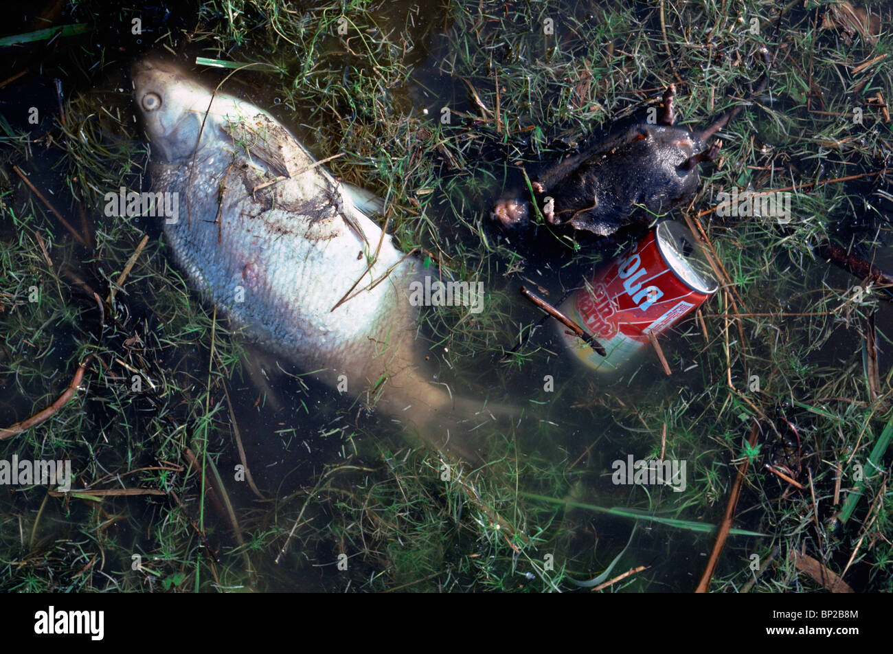 a dead fish floats in polluted water - Stock Image