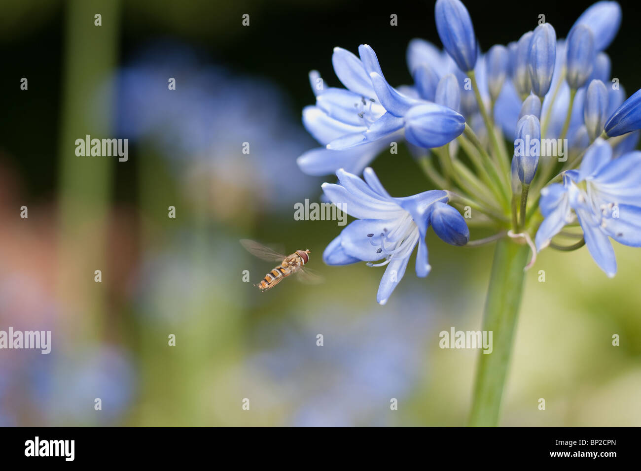Agapanthus Blue and Hoverfly - Stock Image