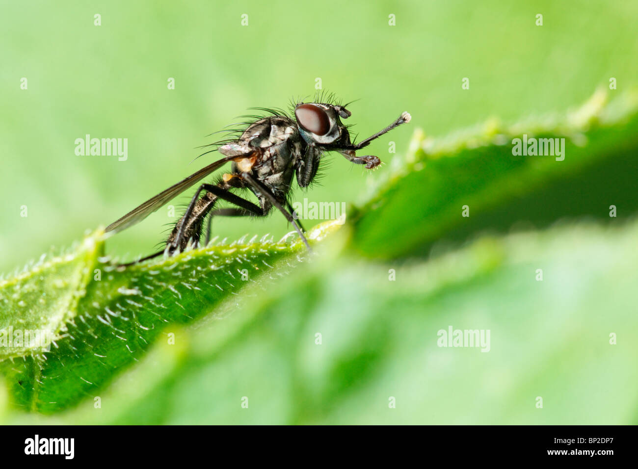 Fly standing on the edge of a leaf. Stock Photo
