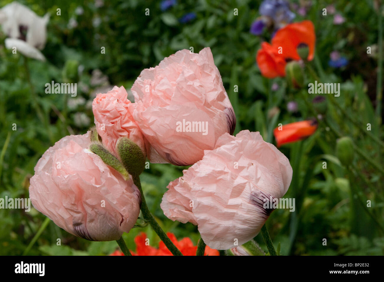 Pink Poppy Stock Photos Pink Poppy Stock Images Alamy