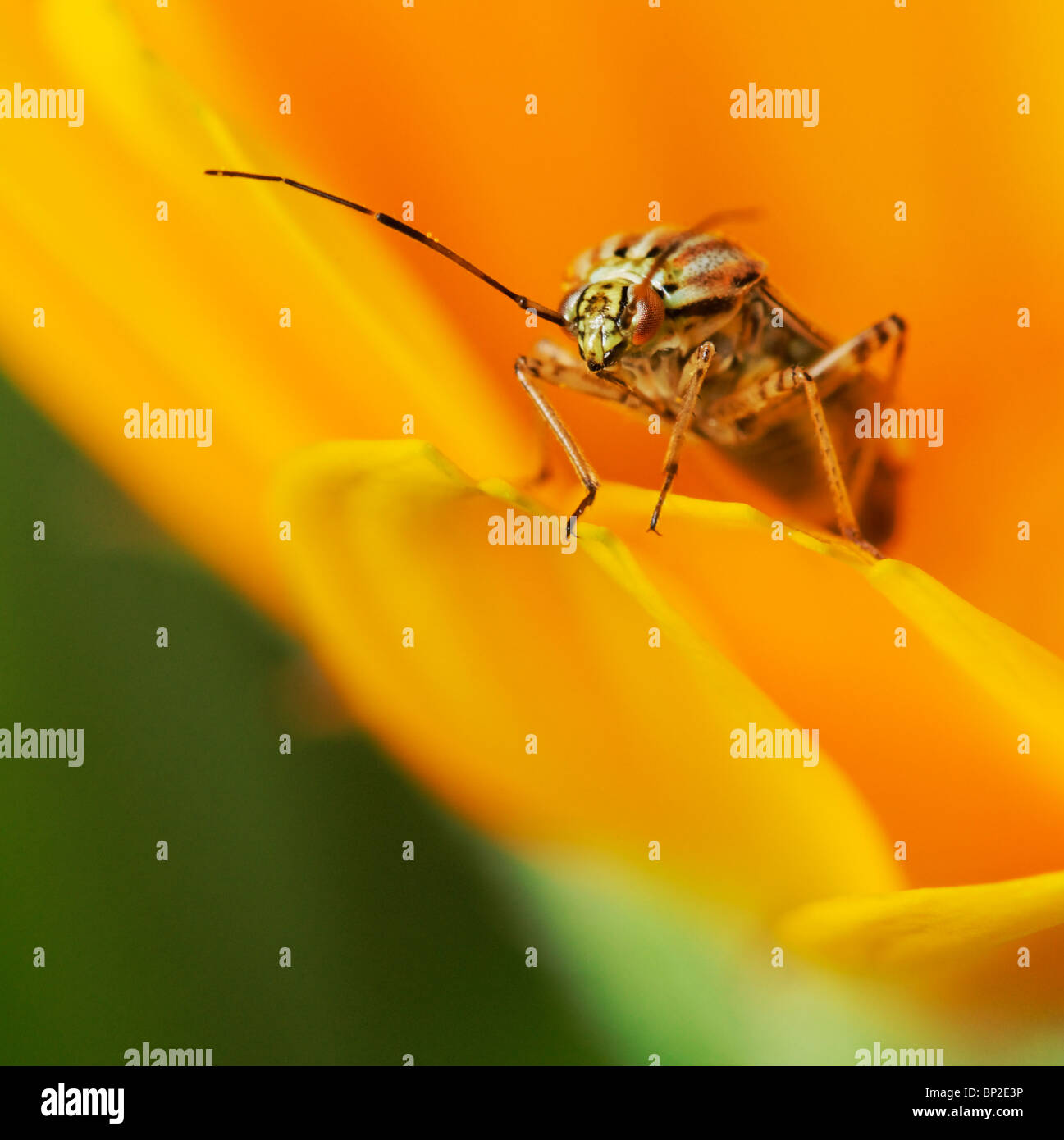 A Plant Bug on a Marigold flower.Either a Capsid or Mirid bug. - Stock Image