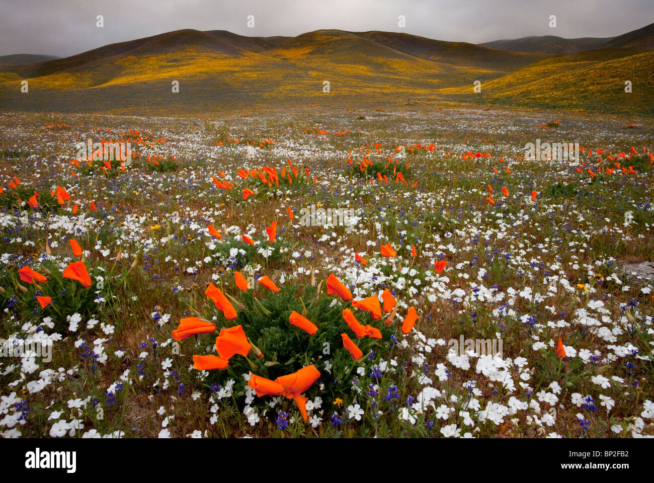 Evening snow linanthus dichotomus california poppies and other evening snow linanthus dichotomus california poppies and other spring flowers at gorman in the tehatchapi mountains california mightylinksfo