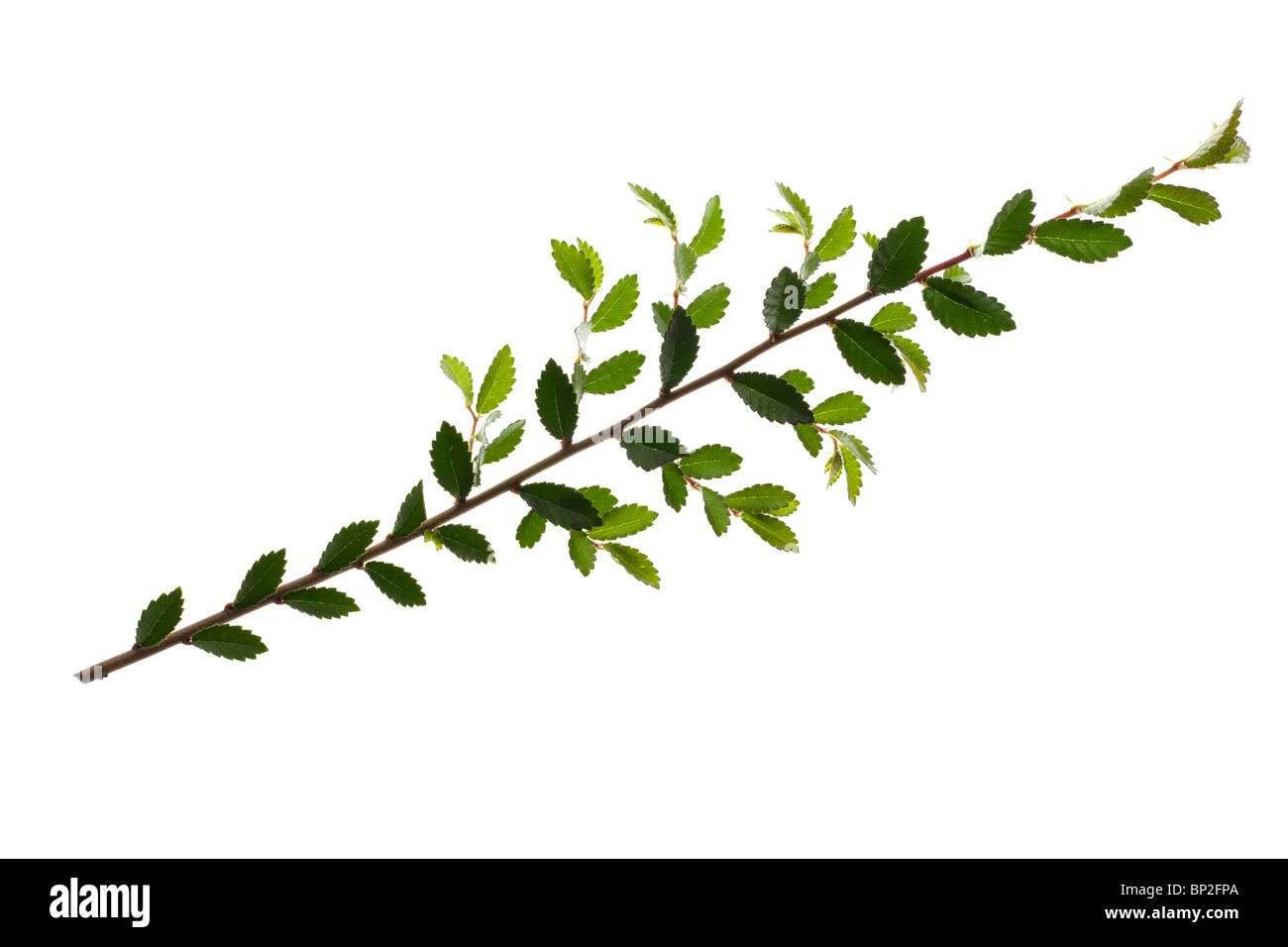 Leaves and branch from a Japanese yew tree - Stock Image