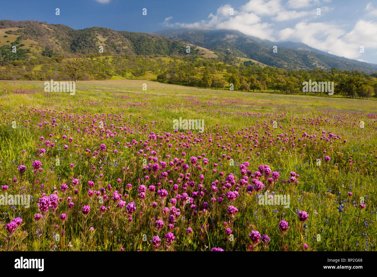Flowery grassland with owl clover on the slopes of the Tehatchapi Mountains near Arvin, south California. - Stock Image
