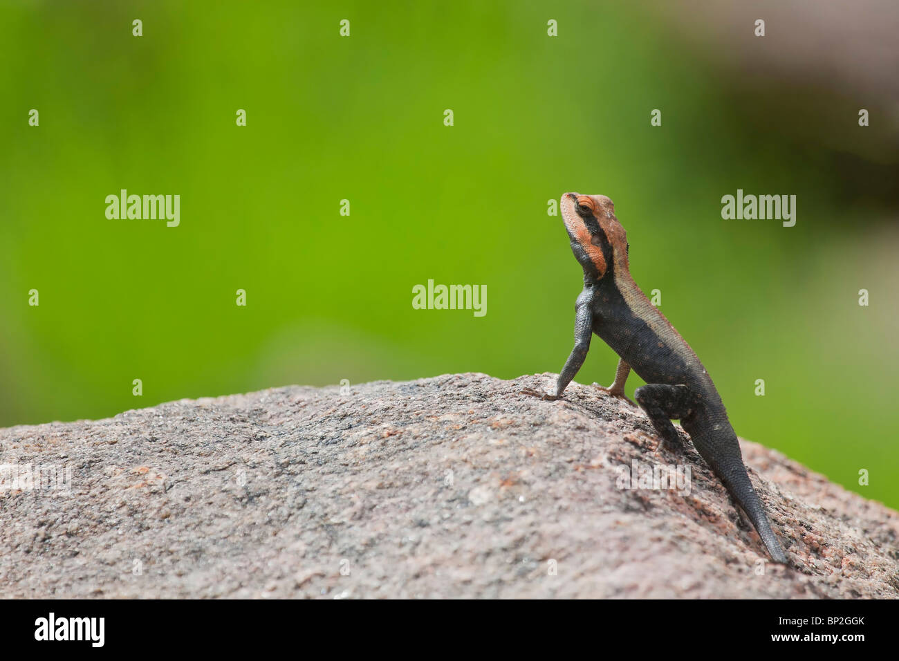 Lizard,Rock Agama, on the rocks,warming up, cold blooded,eye contact,surveillance,catchlight,body heat, scape shot, - Stock Image