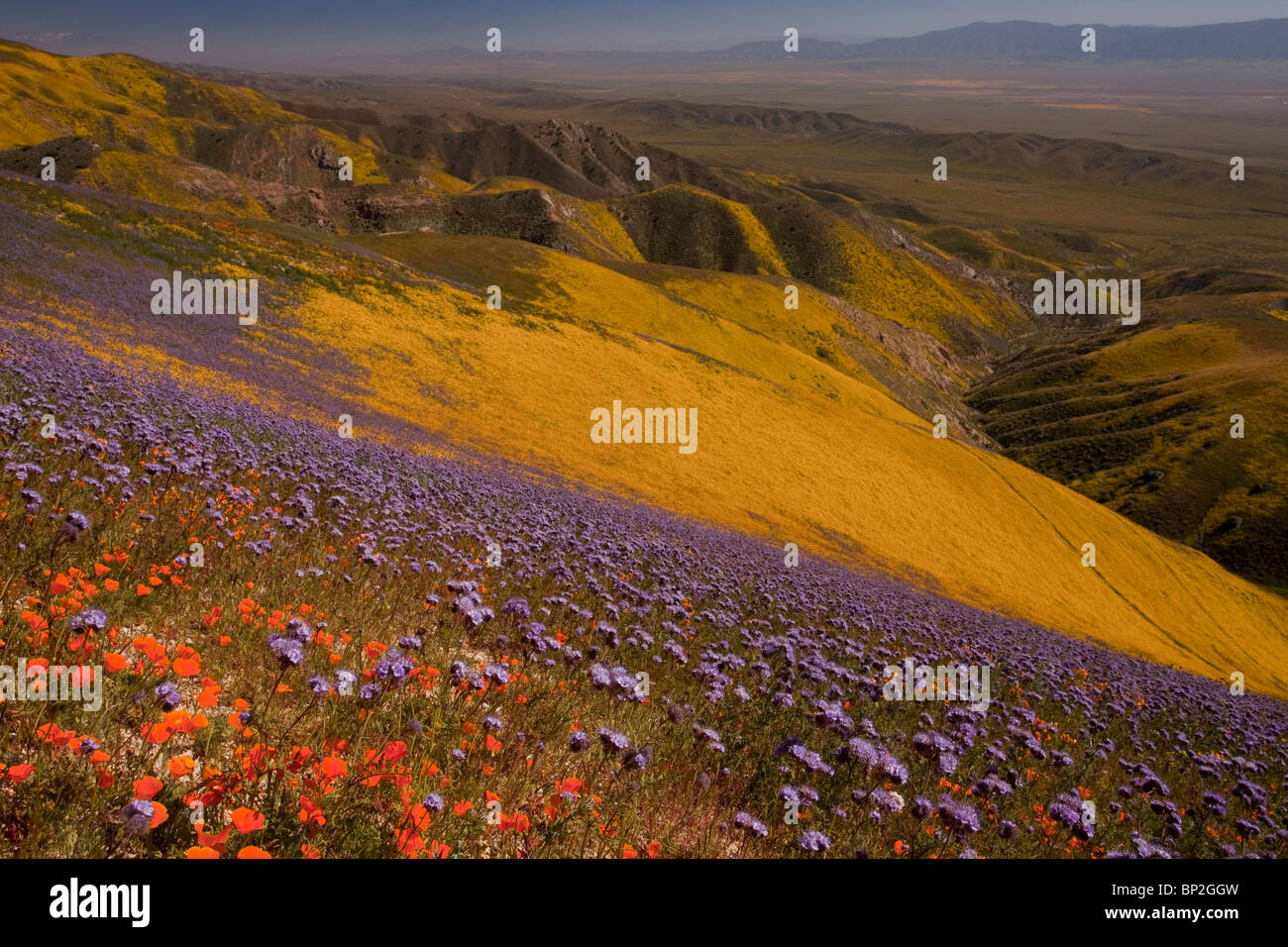 Spectacular masses of spring wildflowers, mainly Hillside Daisy, Californian Poppies and Phacelia, in The Temblor - Stock Image