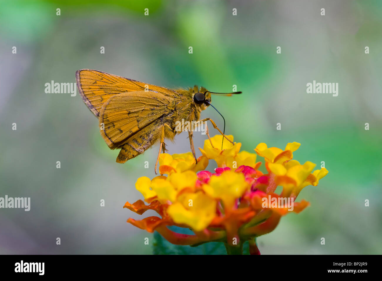 Nectar hunter, feeding, sucking,licking, butterfly,moth, awl, banded, lantana, flower,proboscis,india,wildlife,photography,macro - Stock Image