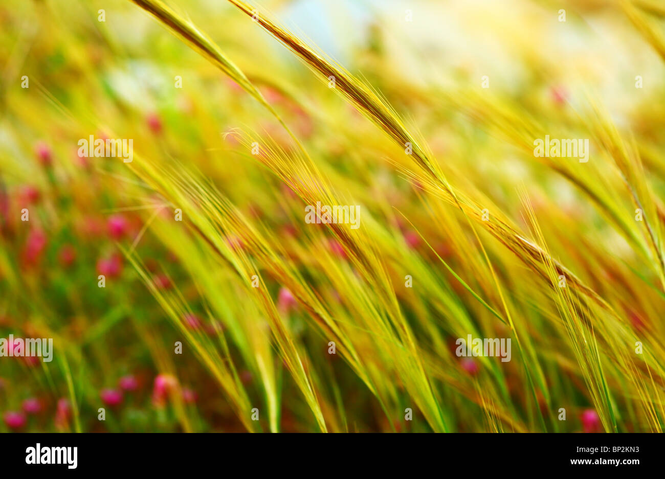 Wheat field landscape late summer scene - Stock Image