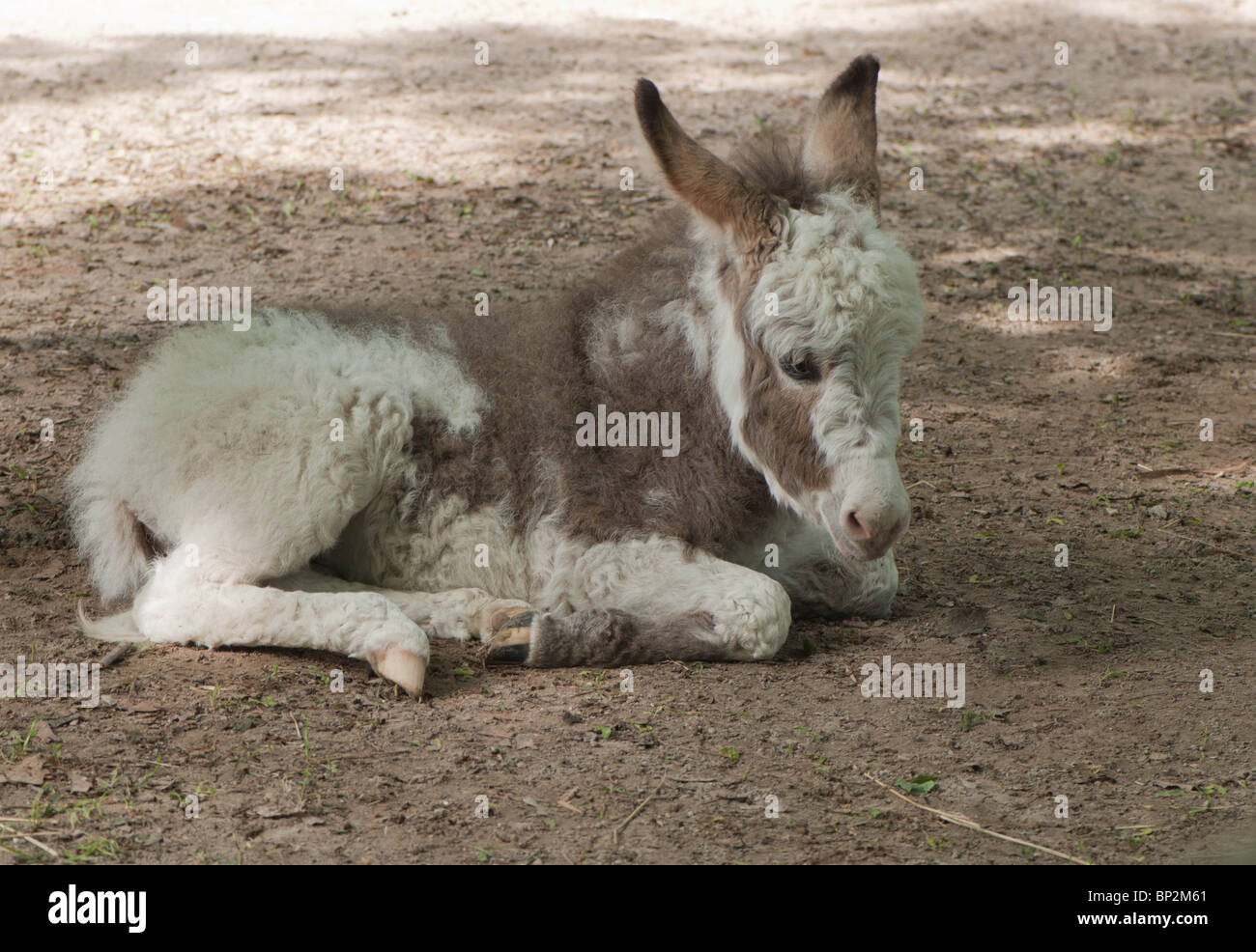 A young donkey lays on the ground during a period of rest. Stock Photo
