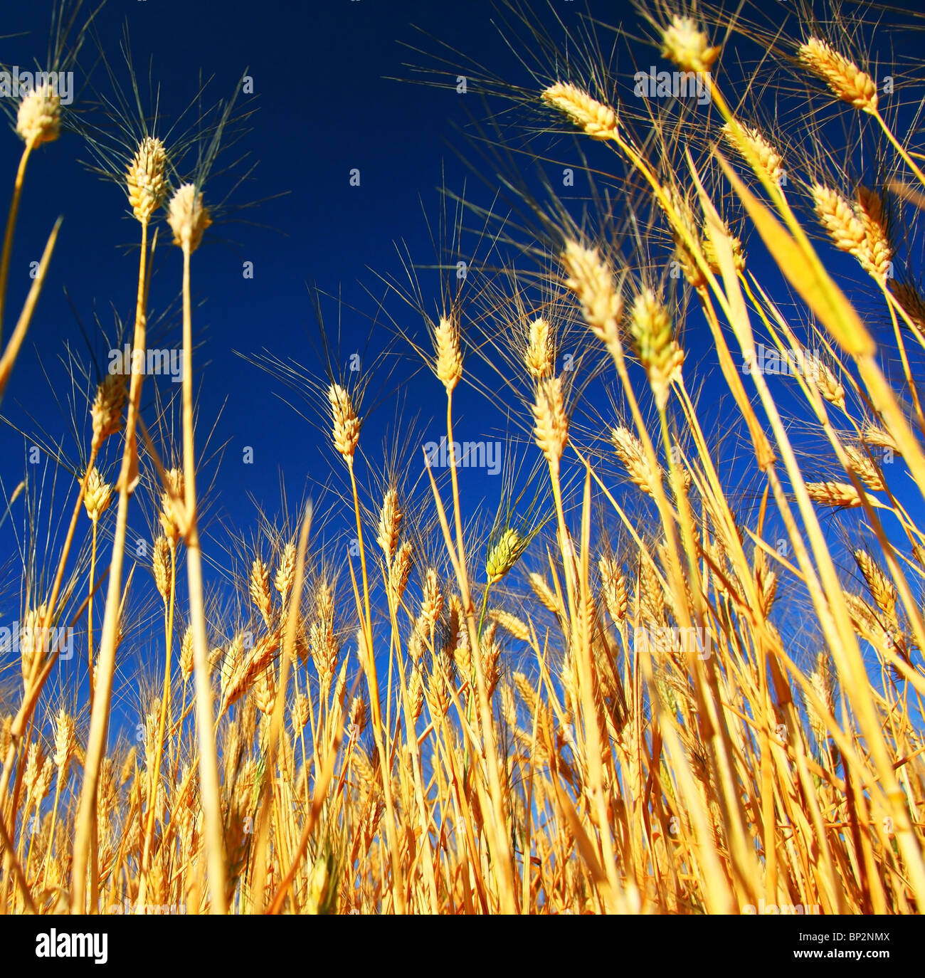 Wheat field landscape closeup on rye over blue sky - Stock Image