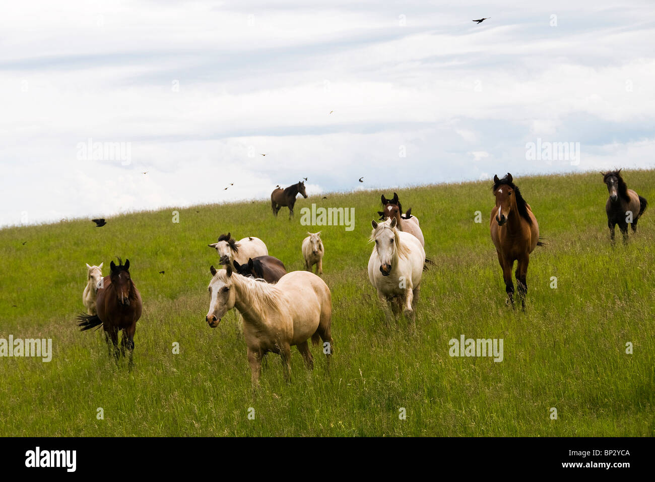 Lusitano mares running wild on a ranch in Oregon. - Stock Image