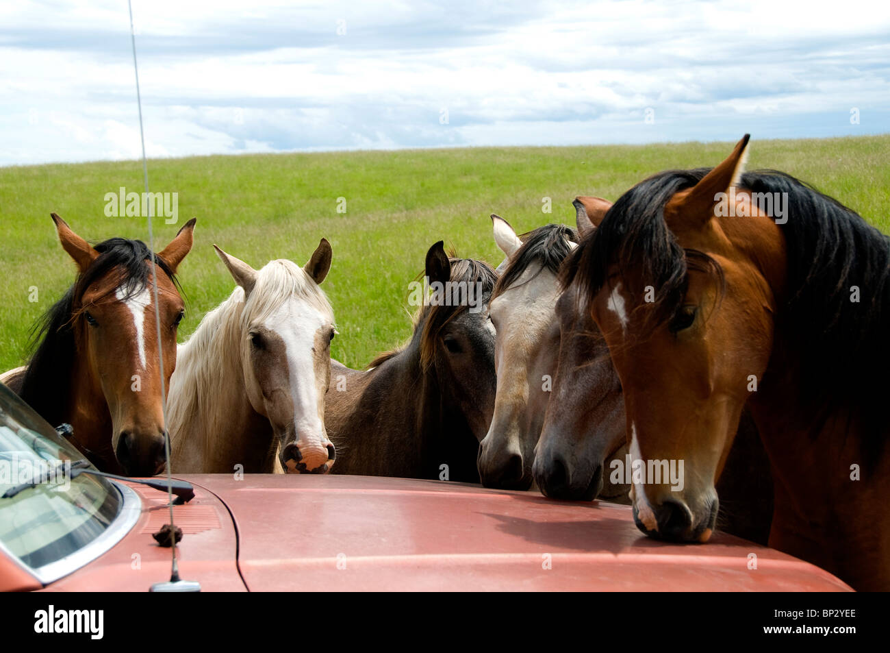 Lusitano mares smelling paint on hood of car. They will scrape and lick it. Stock Photo