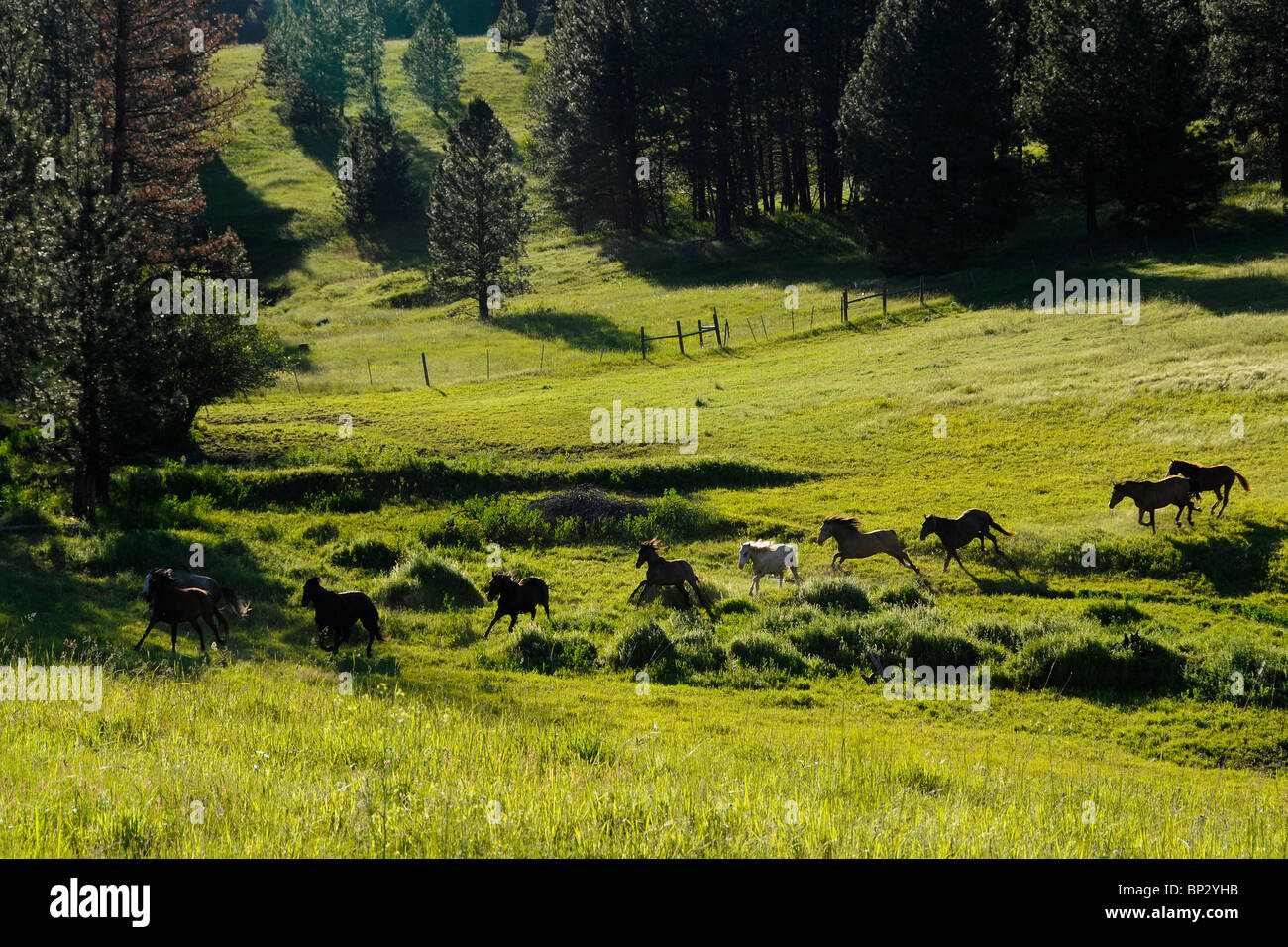 Herd of Lusitano horses running in the wilderness.  Oregon, U.S.A. Stock Photo
