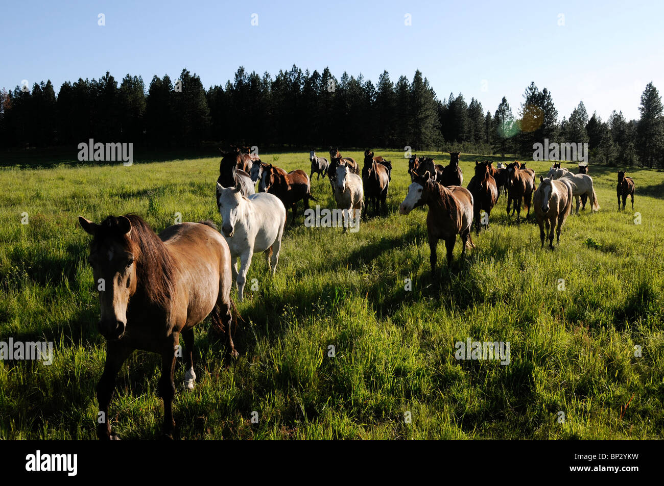 Herd of Lusitano horses on a ranch in Oregon. Wilderness country. Stock Photo