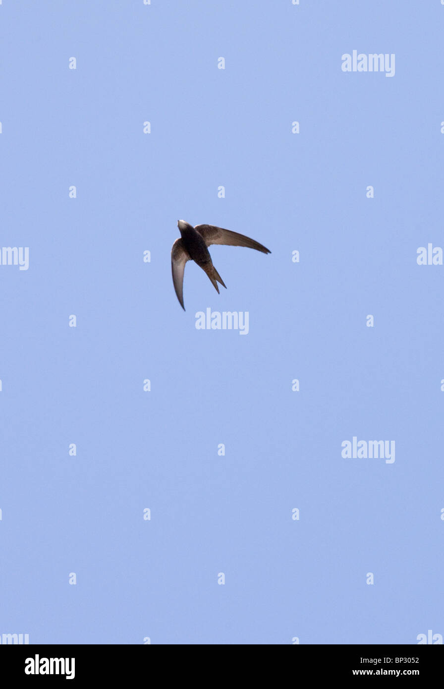 Pallid Swift in flight, in the Great Caucasus, Georgia. - Stock Image