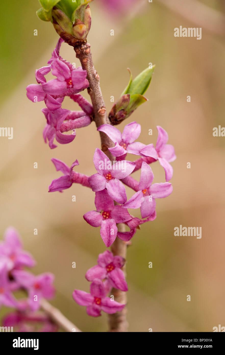 Mezereon, Daphne mezereum in flower; Georgia. - Stock Image