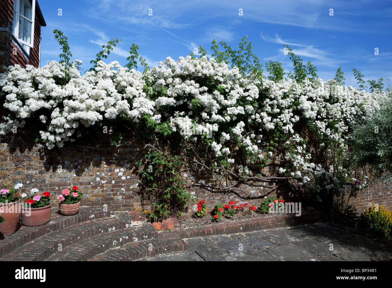 Rambling Rector growing on garden wall - Stock Image