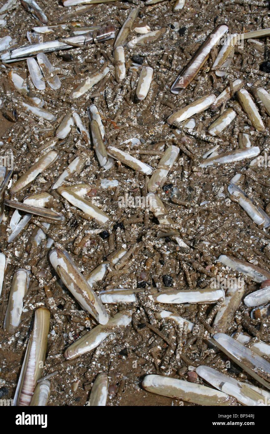 Razorshells And Sand Mason Worm Tubes Washed Up On Formby Beach, Sefton Coast, UK Stock Photo