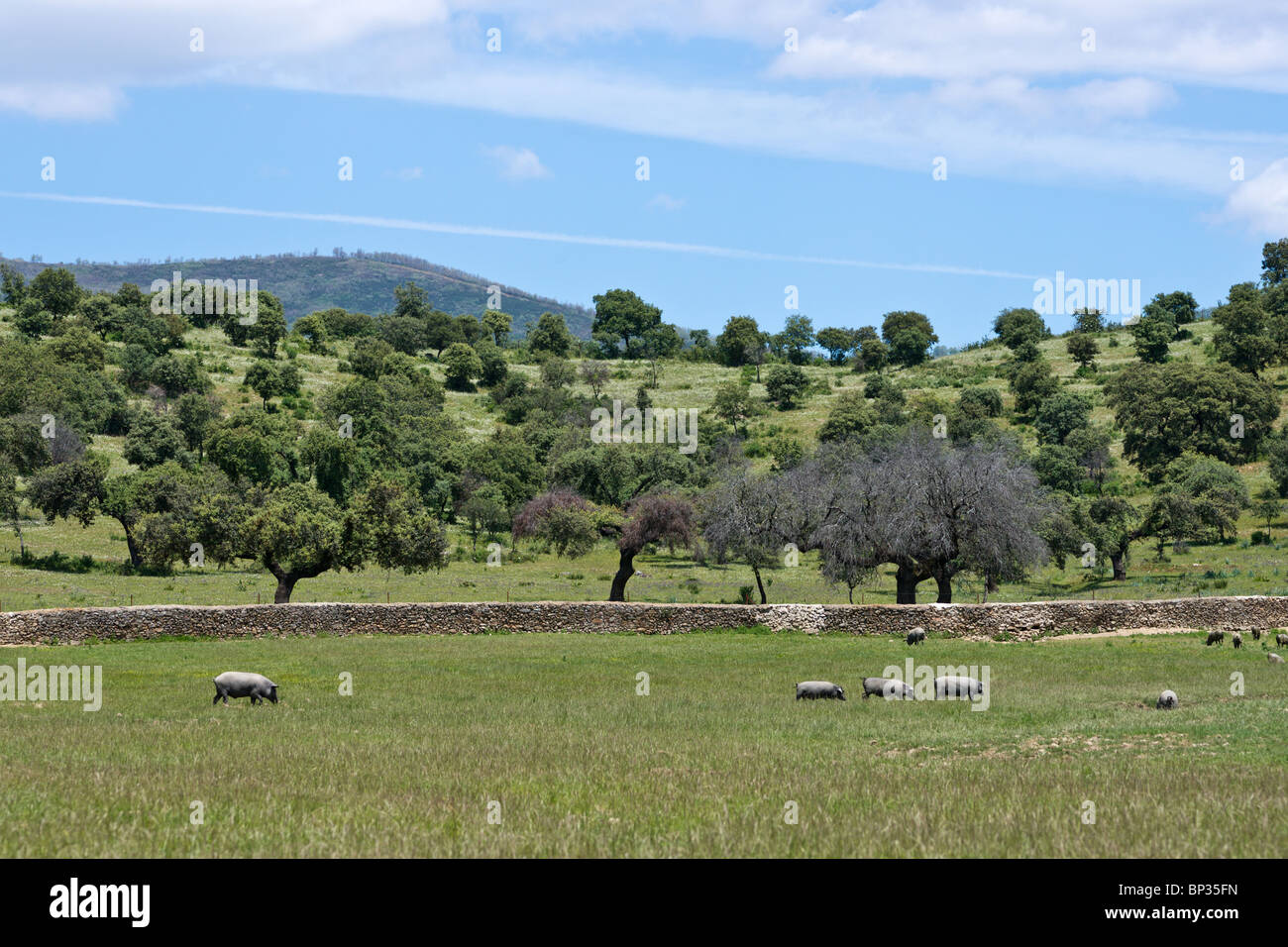 Black pigs grazing in grove of holm oaks. Extremadura, Spain. - Stock Image