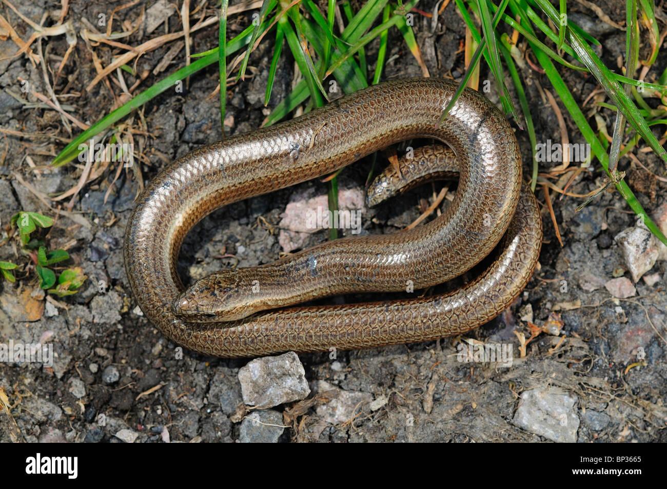 Slow-worm at rest. Dorset, UK April 2010 Stock Photo