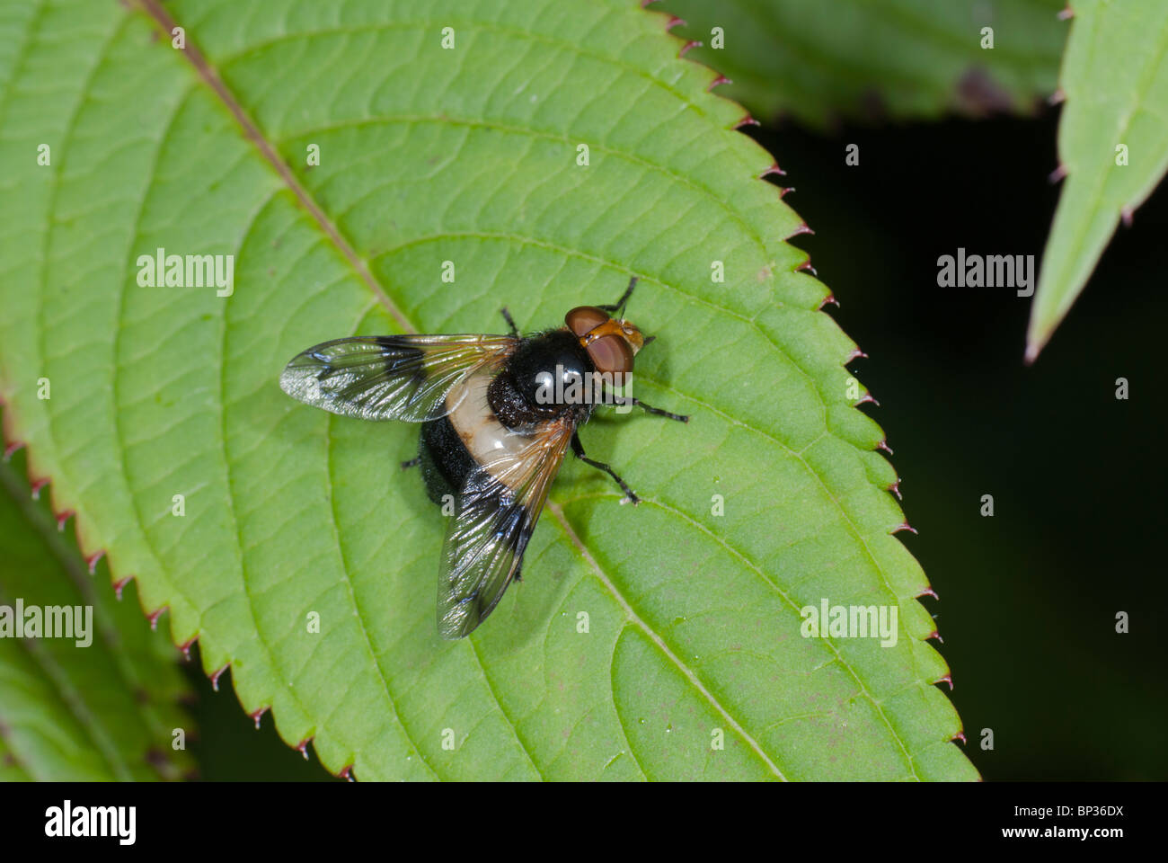 Hover-fly (Volucella pellucens) - Stock Image