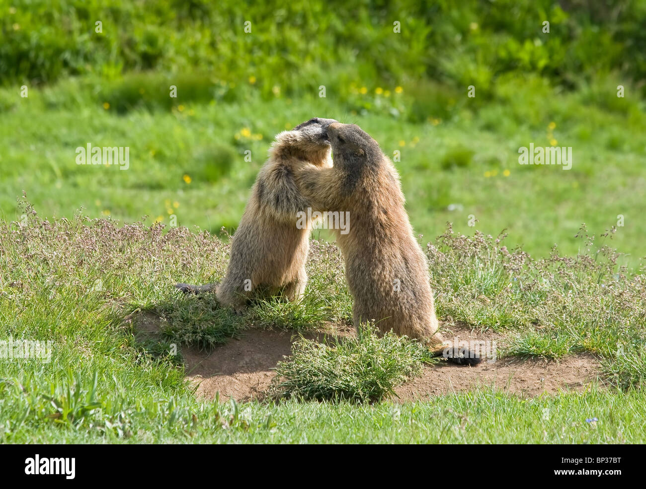 two marmots struggle and kiss in a green meadow in Italian dolomites - Stock Image