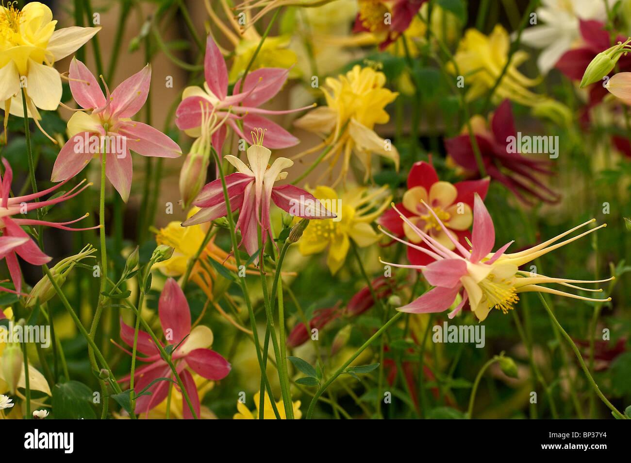 Close up of display of Hybrid Aquilegias 'Songbird Series' - Stock Image