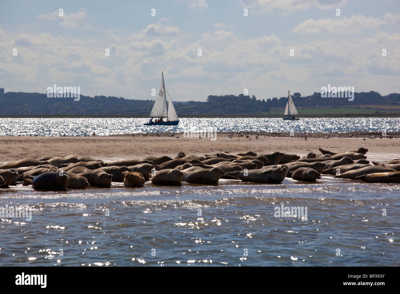 Seal colony at Blakeney Point, Norfolk, England - Stock Image