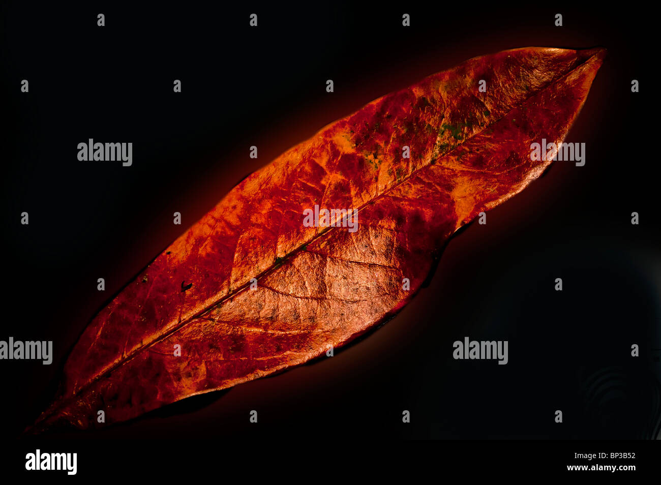 Bronze coloured Rhododendron (Ericaceae) leaf  set against a reflective black surface - Stock Image