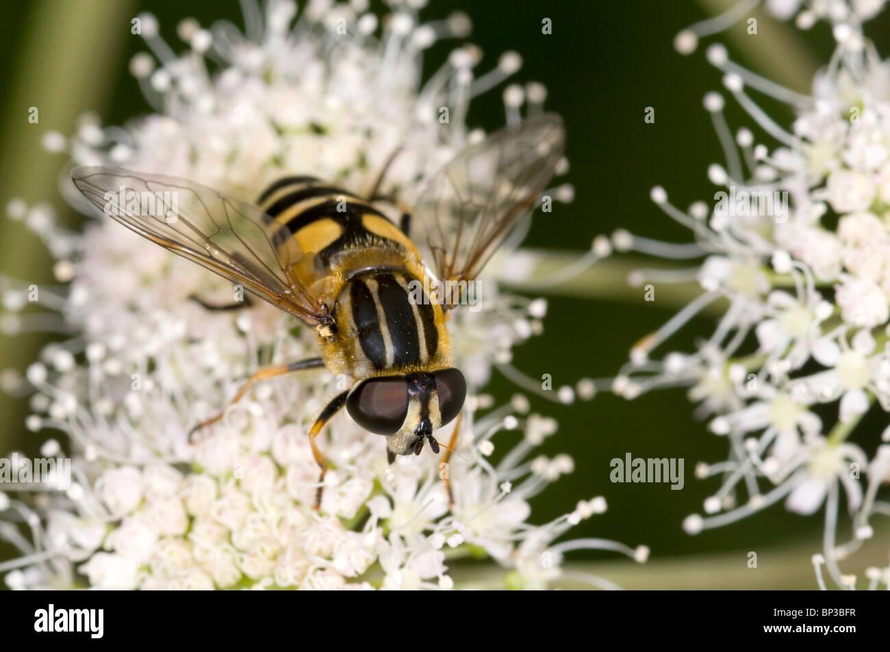 syrphid fly on meadowsweet (Filipendula ulmaria) feeding on nectar - Stock Image