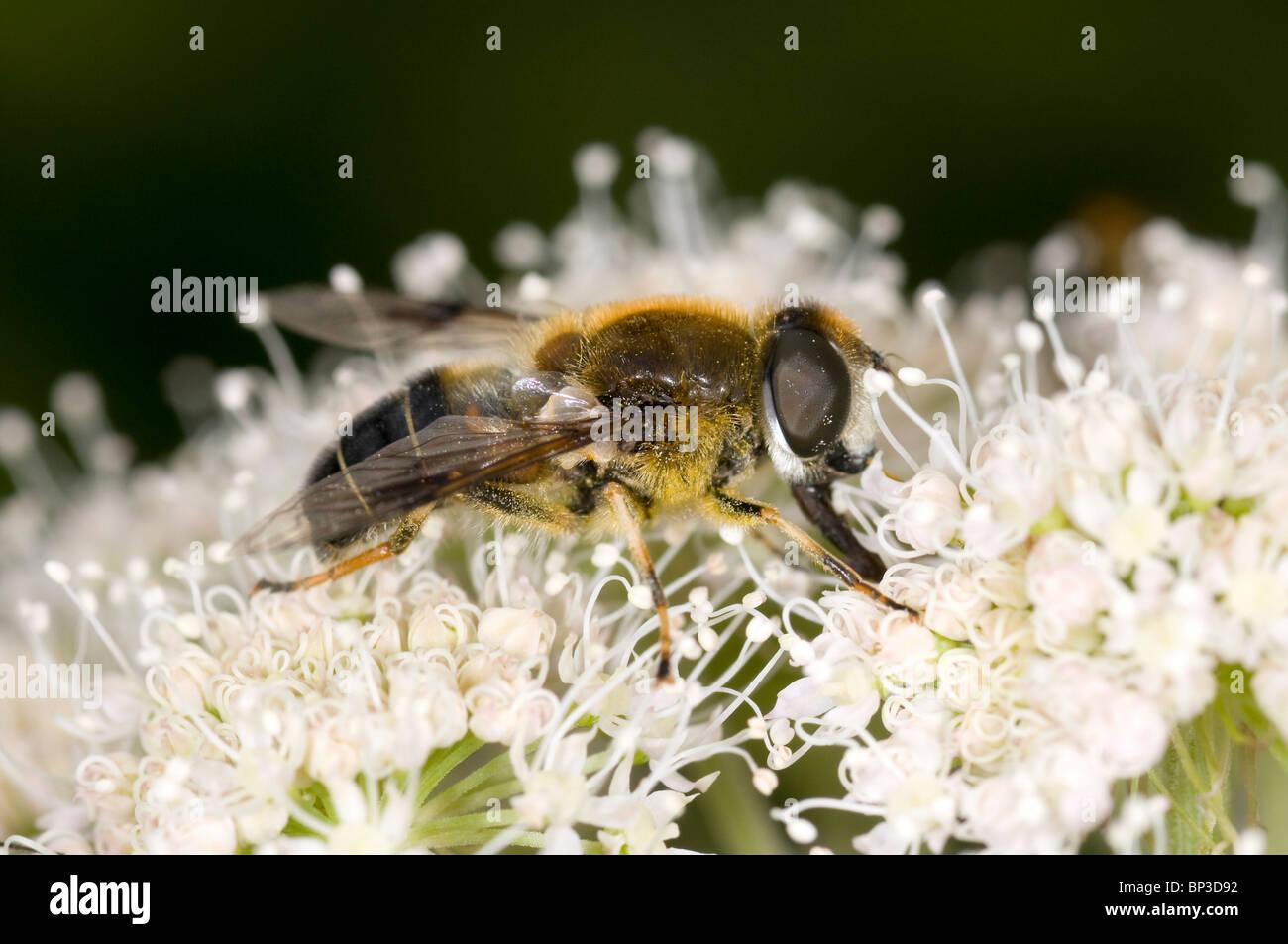 close up of a Hoverfly, Eristalis spp. on meadowsweet flower, (Filipendula ulmaria) feeding on nectar - Stock Image