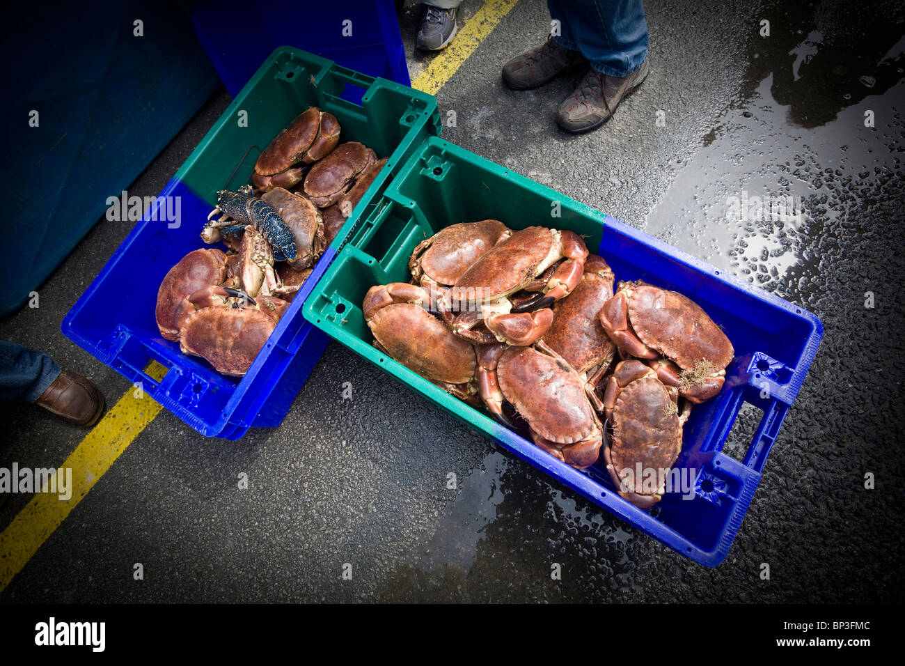 At the Roscoff auction room (France), edible crabs (Cancer pagurus) displayed to buyers. Crabes tourteaux à - Stock Image