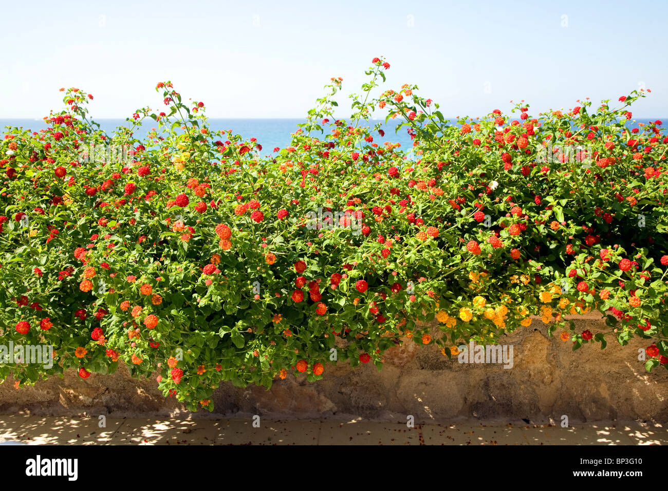 Red Sage Lantana, Spanish Flag, Lantana camara  Rhodes Greece - Stock Image