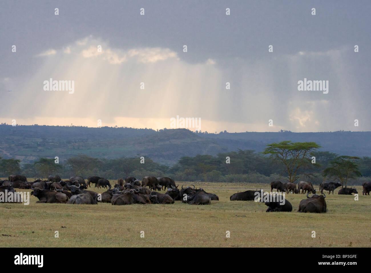 African buffalos (Syncerus caffer) laying after rain in savanna, along the coast of lake Nakuru, Kenya. - Stock Image