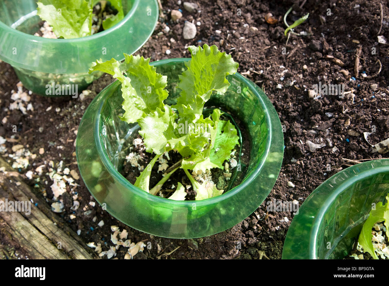 Lettuce protected from slugs by plastic rings - Stock Image