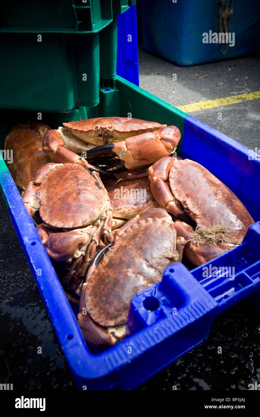At the Roscoff salesroom (France), edible Crabs (Cancer pagurus) displayed to buyers. Crabes tourteaux en vente - Stock Image