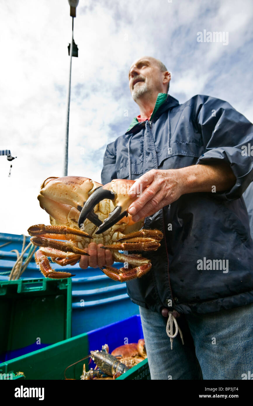 A fisherman handling a huge edible Crab to the Roscoff auction room (France). Pêcheur manipulant un énorme - Stock Image