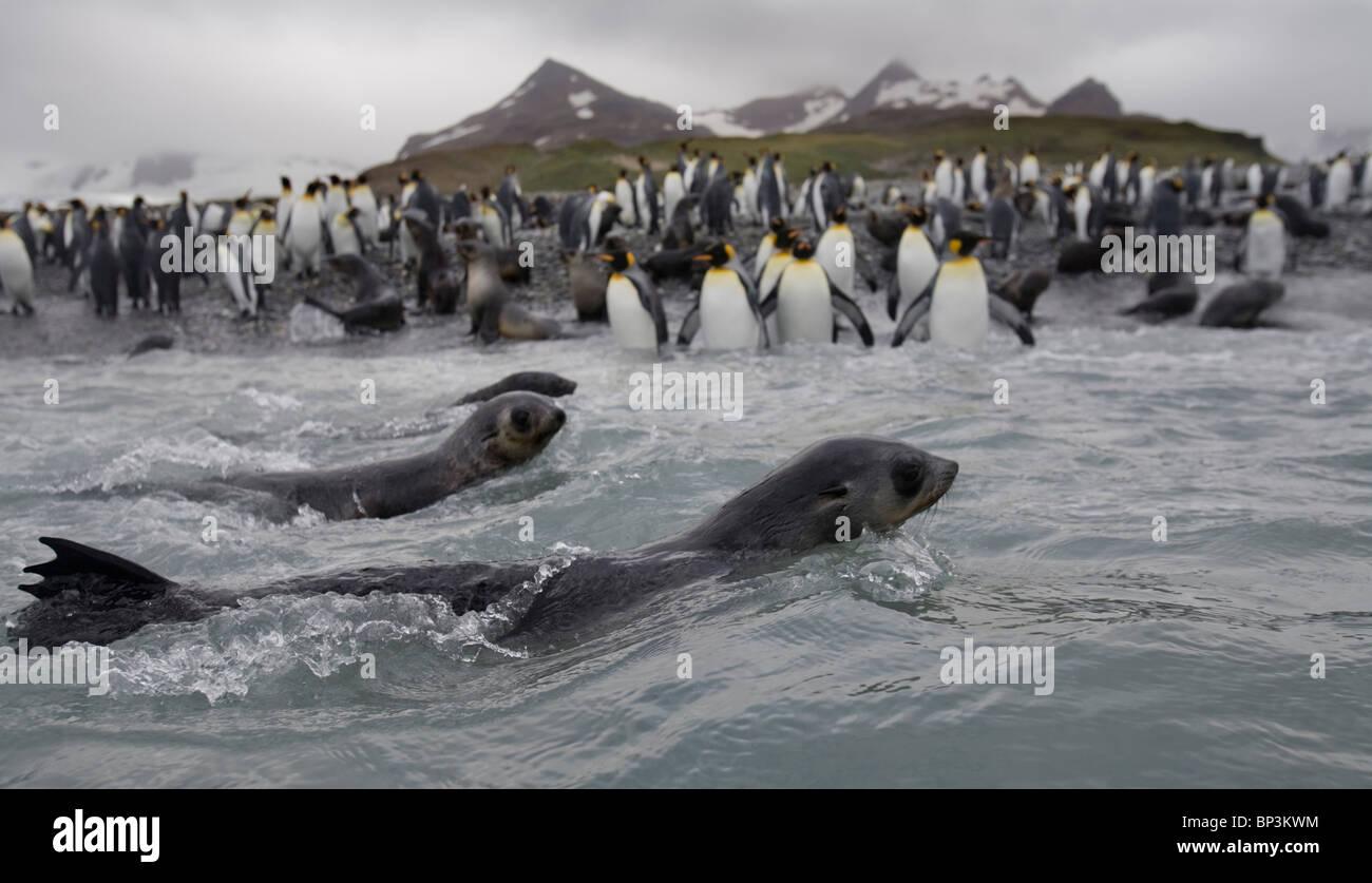 Antarctica, South Georgia Island , Antarctic Fur Seal  swimming in surf near crowded King Penguin rookery at Salisbury - Stock Image