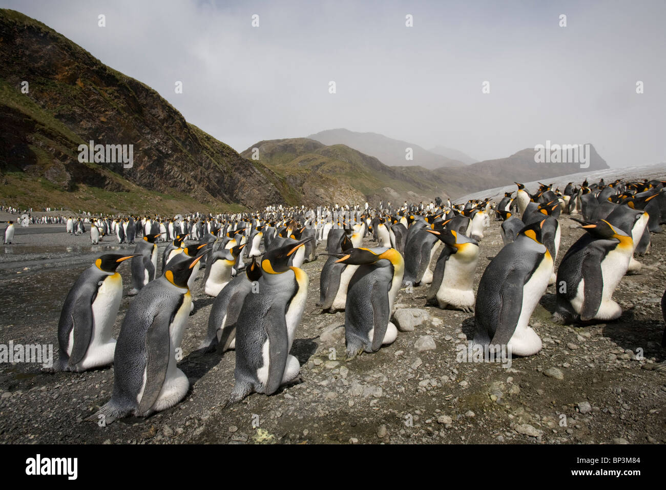 Antarctica, South Georgia Island , King Penguin  gathered near rookery at edge of receding glacier along Fortuna - Stock Image