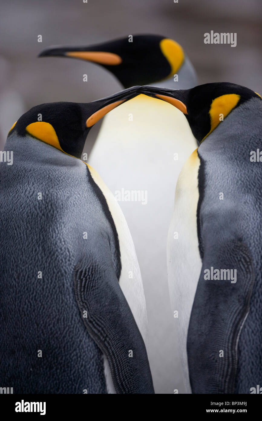 Antarctica, South Georgia Island , King Penguins (Aptenodytes patagonicus) in rookery along Elsehul Bay on cloudy - Stock Image