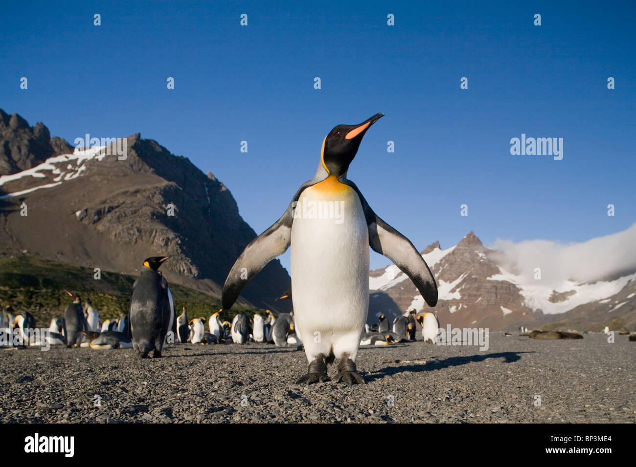 Antarctica, South Georgia Island , King Penguin  standing in morning sun on beach along Right Whale Bay at dawn - Stock Image