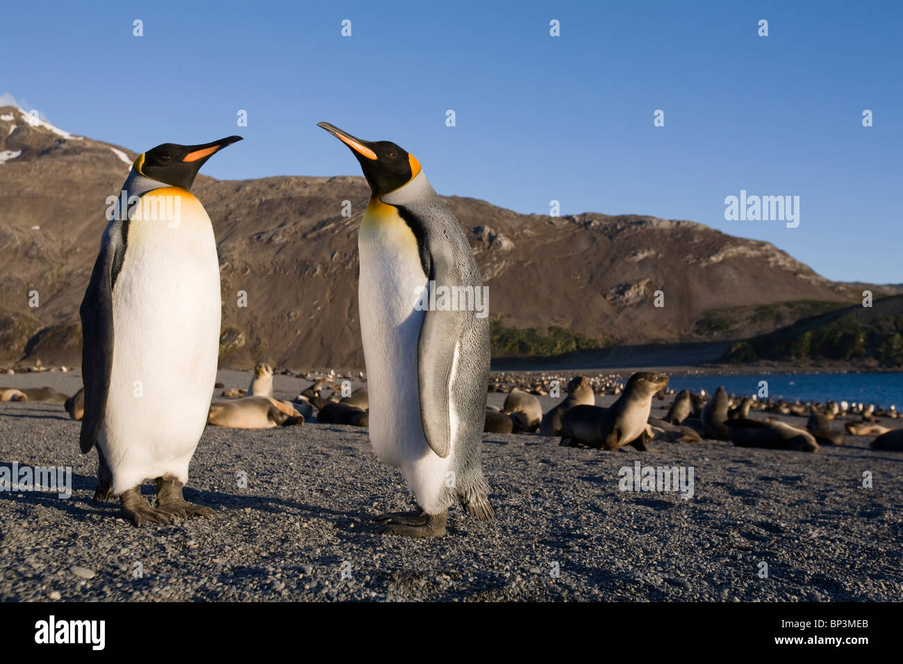 Antarctica, South Georgia Island , King Penguins  resting in morning sun on beach along Right Whale Bay at dawn - Stock Image