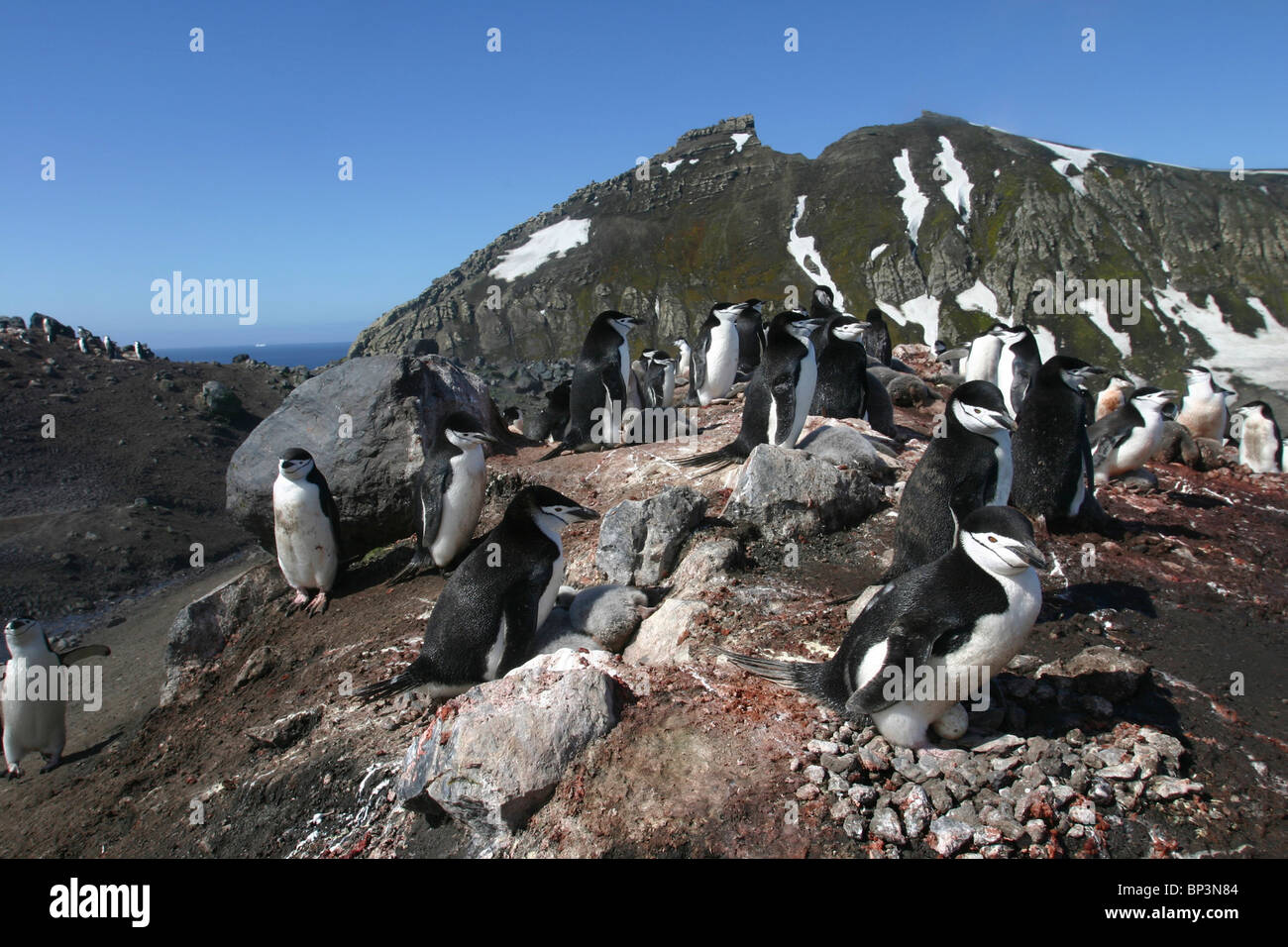 Antarctica, Deception Island, Chinstrap penguins  on nests in massive rookery near Baily Head in afternoon sun - Stock Image