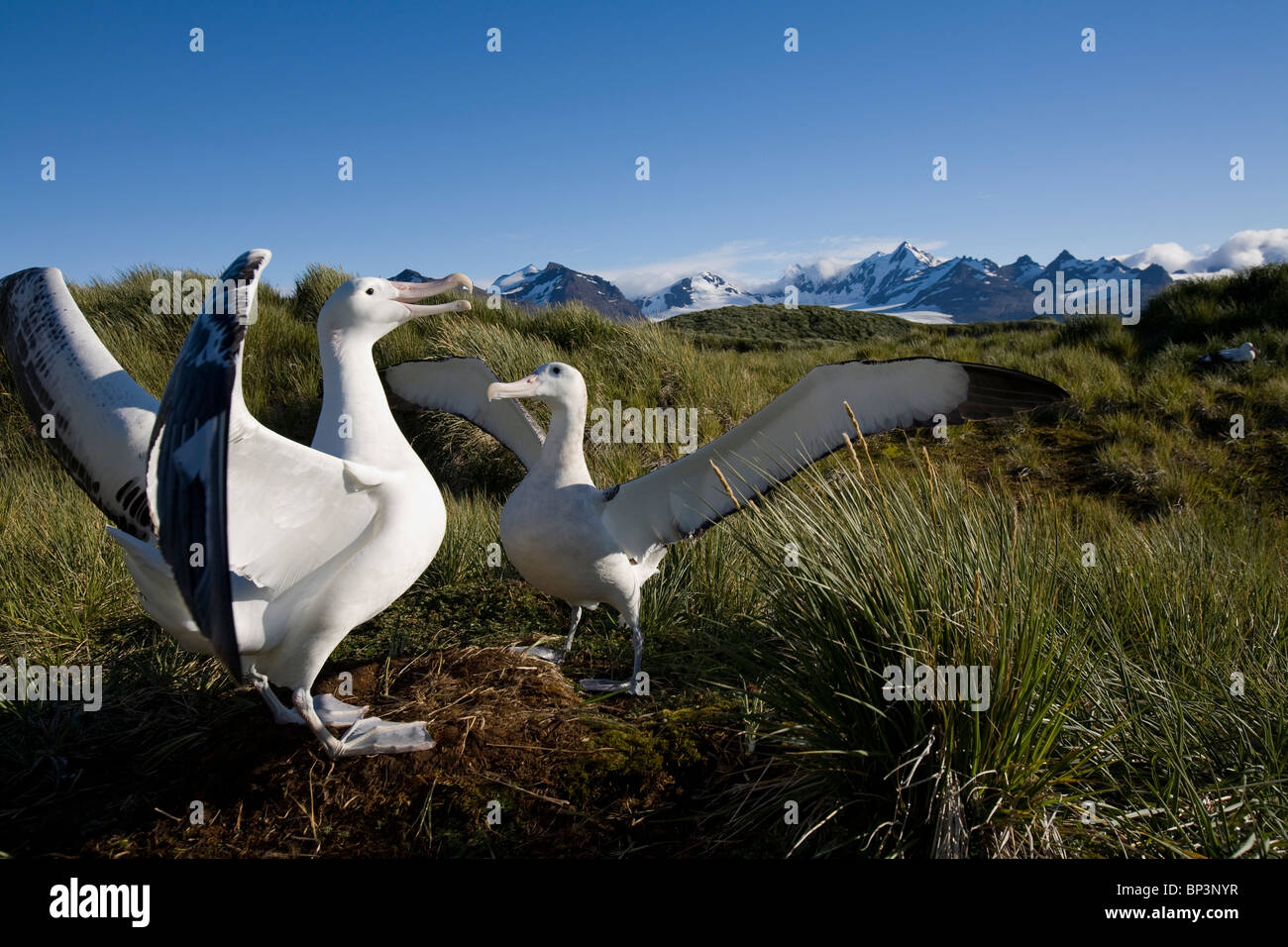 Antarctica, South Georgia Island , Courtship display of Wandering Albatross (Diomedea exulans) on Prion Island - Stock Image