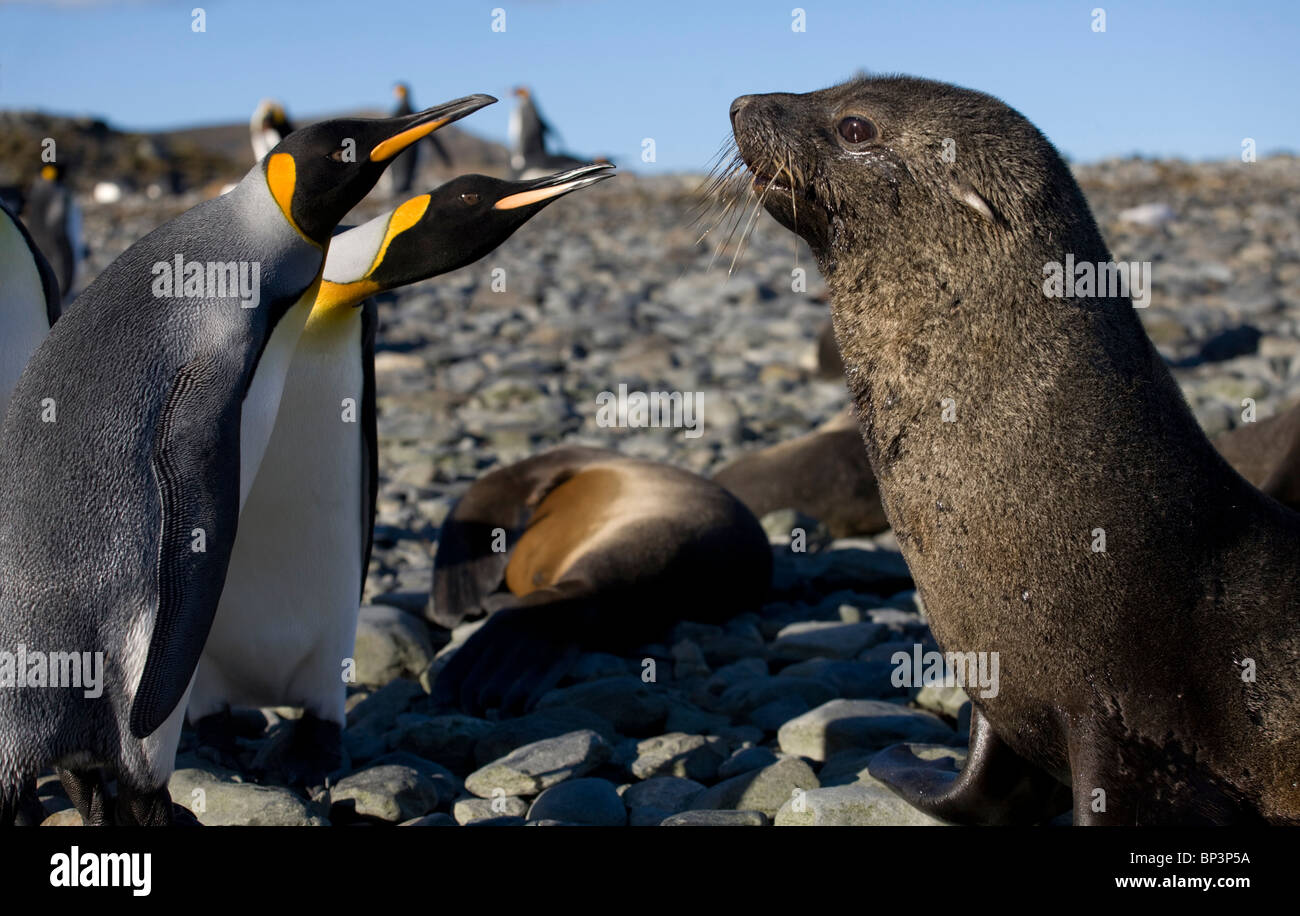 Antarctica, South Georgia Island , King Penguins  and Antarctic Fur Seals  on beach along coast at Gold Harbour - Stock Image